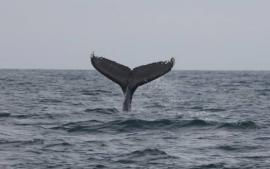 Baleine à bosse © Marine Leicher