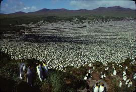 La colonie de manchots royaux de l'île aux Cochons en 1982 © Henri Weimerskirch