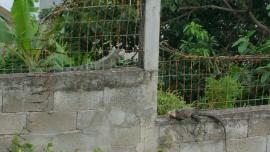 Iguane commun à gauche, iguane des Petites Antilles à droite