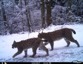 Lynx © RNN Haute-Chaine du Jura