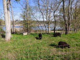 pâturage à la réserve naturelle de Saint-Mesmin © RNNSM