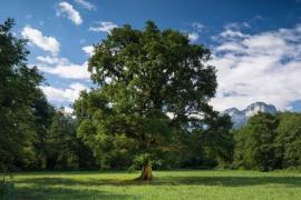 Candidature arbre de l'année © CEN Haute-Savoie
