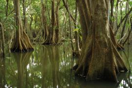 Forêt marécageuse à mangle médaille en Guadeloupe - © B. Pont