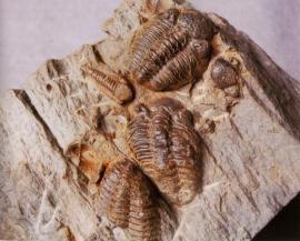 Groupe de Geesops sparsinodosus gallicus - © B. Gibout