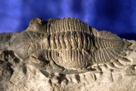 Trilobite Asteropyge sp. - © B. Gibout