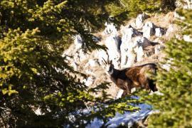 Chamois - © F. Lepage / Coeurs de nature / SIPA