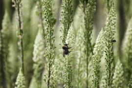 Abeille sur réséda jaune - © L. Wen / Coeurs de nature / SIPA