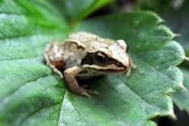 Grenouille agile - © H. Löchel / Wikipedia