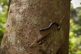 iule sur un arbre - © O. Jobard / Coeurs de Nature / SIPA