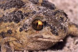 Pélobate brun - © C. Fischer / Wikipedia