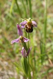 Ophrys abeille - © P.M. Aubertel