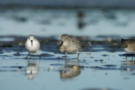 Bécasseaux maubèche et sanderling - © RNN Baie de Saint-Brieuc