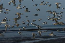 Vol de limicoles - © RNN Baie de Saint-Brieuc