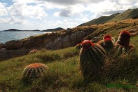"""Cactus """"Tête à l'anglais"""" à Grandes Cayes - © RN Saint-Martin"""