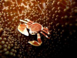 Crabe porcelaine - © C. Pons / Coeurs de Nature / SIPA