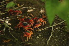 Crabes rouges - © B. Celica / Coeurs de Nature / SIPA