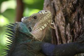 Iguane des petites Antilles - © Postdlf / Commons