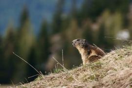 Marmotte des Alpes - © J. Heuret