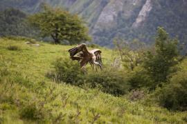 Vautour fauve - © F. Lepage / Coeurs de nature / SIPA