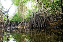 Palétuviers et mangrove - © B. Celica / Coeurs de Nature / SIPA