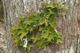 Lichen Lobaria pulmonaria - © Bernd haynold / Wikipedia