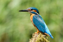 Martin pêcheur - © T. Wood / Wikipedia