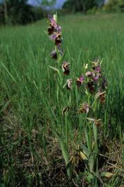 Ophrys bourdon - © R. Letscher