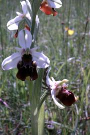 Ophrys frelon - © J.-P. Reilhac