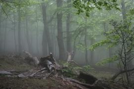 Hêtraie - © RN Forêt de la Massane