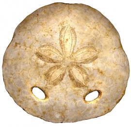 Fossile d'amphiope (oursin) - © RN Saucats et La Brède