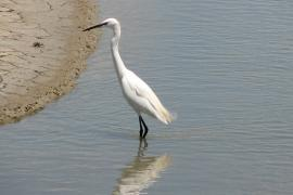 Aigrette garzette - © P. Bertinetto / Wikipedia