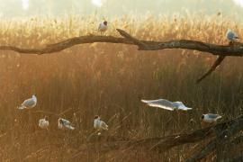 Mouettes rieuses - © J. Lecquyer / Coeurs de Nature / SIPA