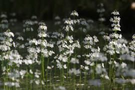 Hottonie des marais - © J. Lecquyer / Coeurs de Nature / SIPA