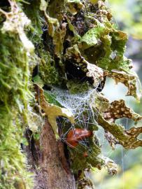 Lichen Lobaria pulmonaria - © RNN Tourbière de Machais