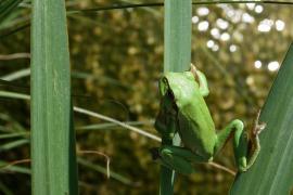 Rainette arboricole - © F. Reimann / WIkipedia