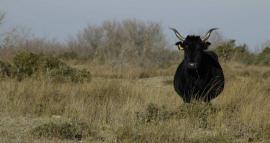 Vache de race Camargue - © D. Cohez / TdV