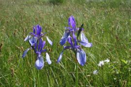 Iris de Sibérie - © P.-M. Aubertel