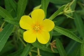 Fleur de Jussie - © Alvesgaspar / Wikipedia
