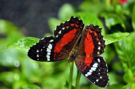 Papillon Anartia amathea - © W. Meneses / Wikipedia