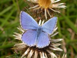 Argus bleu céleste - © T. Cheyrezy