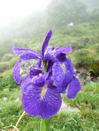 Iris des Pyrénées - © R. Laffitte