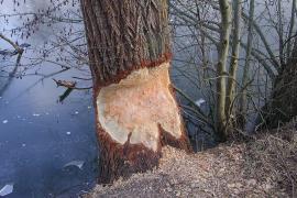 Arbre rongé par le castor d'Europe - © P.-M. Aubertel