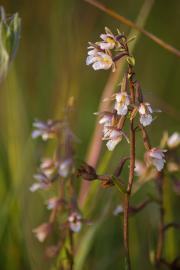 Epipactis des marais - © N. Le Lan