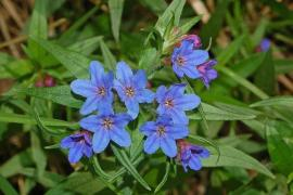 Grémil pourpre-bleu - © Hectonichus / Commons