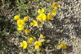 Bugrane jaune - © H. Hillewaert / Wikipedia