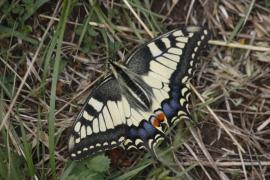 Machaon - © P.-M. Aubertel