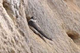 Hirondelle de rivage - © Aiwok / Commons