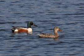 Couple de canards souchet - © Cephas / Wikipedia