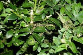 Chenilles de Pyrale du buis - © StromBer / Commons