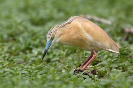 Crabier chevelu - © P. Dalous / Wikipedia